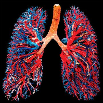 lung vessels