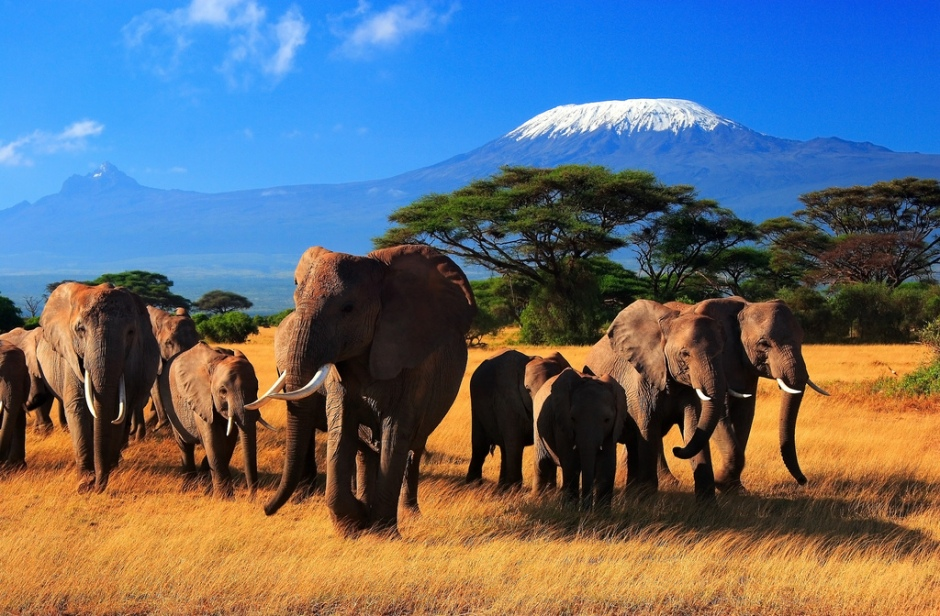 savannah elephants