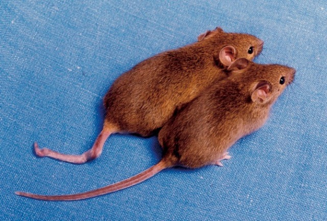 Gene therapy: not just for mice. J. Bradbury.